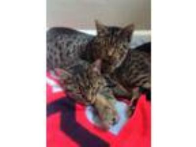 Adopt Lavern and Shirley a Spotted Tabby/Leopard Spotted Bengal (short coat) cat