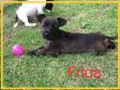 Adopt Frida a Shih Tzu / Mixed dog in Jenkintown, PA (25311202)