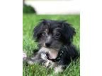 Adopt Julia a Chinese Crested Dog