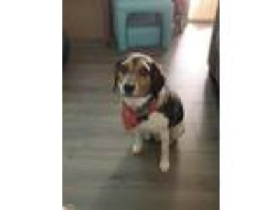 Adopt Colby Jack a Black - with Tan, Yellow or Fawn Beagle / Terrier (Unknown