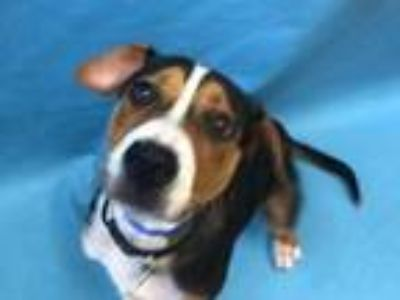 Adopt Oscar a Black Treeing Walker Coonhound / Mixed dog in St.