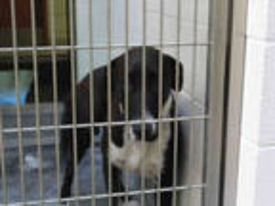 Adopt a Black - with White Labrador Retriever / Mixed dog in Upland