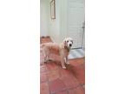 Adopt Rocco a Tan/Yellow/Fawn - with White Golden Retriever dog in Ponte Vedra