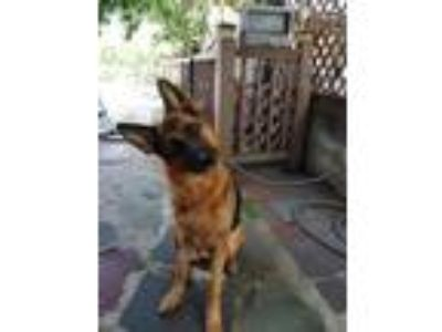 Adopt Vida a German Shepherd Dog