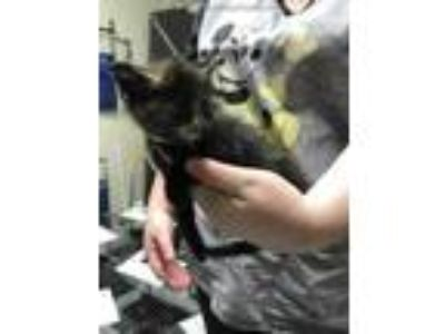 Adopt FLORENCE a Tortoiseshell Domestic Shorthair / Mixed (short coat) cat in