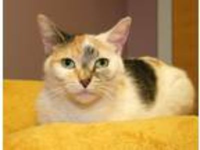 Adopt Eloise a Calico or Dilute Calico Domestic Shorthair (short coat) cat in