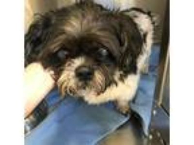 Adopt SHAWNT a Black - with White Shih Tzu / Mixed dog in Rancho Cucamonga