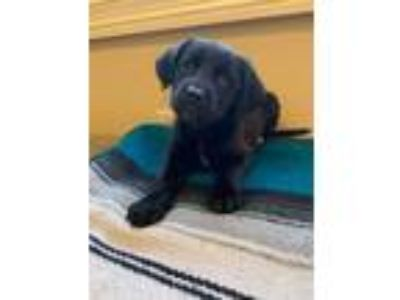 Adopt Sissy (GAPR/Fostered in TN) a Black Labrador Retriever, Terrier
