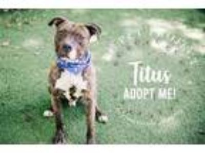 Adopt Titus a Brown/Chocolate American Pit Bull Terrier / Mixed dog in Kansas
