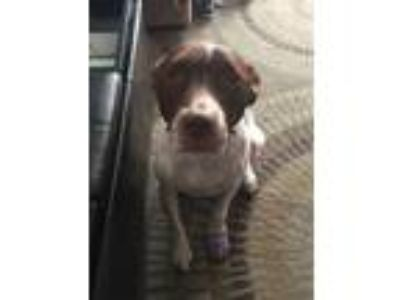 Adopt Ganon a White - with Brown or Chocolate Pointer / American Pit Bull