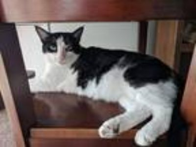 Adopt Sammy a Black & White or Tuxedo Domestic Shorthair / Mixed cat in