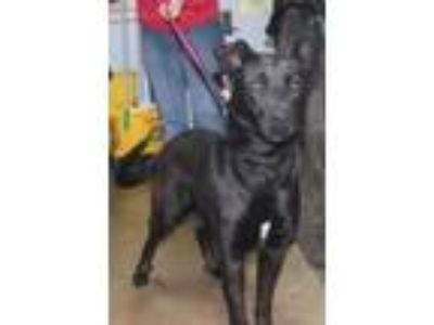 Adopt Andre a German Shepherd Dog, Labrador Retriever