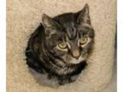 Adopt Binky a Domestic Short Hair