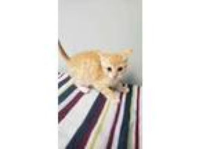 Adopt Dell a Orange or Red Domestic Shorthair / Domestic Shorthair / Mixed cat