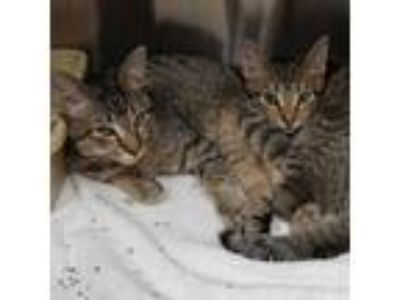 Adopt Beowolf a Domestic Shorthair / Mixed (short coat) cat in Gautier