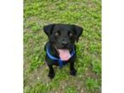 Adopt Boo a Black Labrador Retriever / Mixed dog in Arlington, VT (25906151)