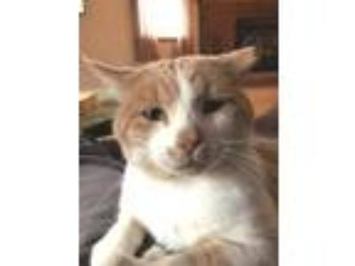 Adopt Harry a Tan or Fawn Tabby Domestic Shorthair / Mixed (short coat) cat in