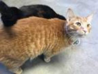 Adopt Fred a Orange or Red Domestic Shorthair / Domestic Shorthair / Mixed cat