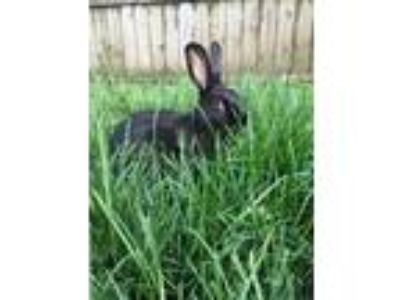 Adopt Hannah a Black Havana / Mixed (short coat) rabbit in Philadelphia