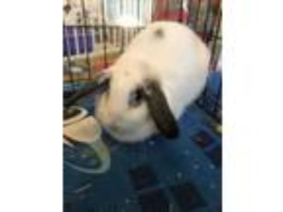 Adopt Alice a White Mini Lop / Mixed (short coat) rabbit in West Palm Beach
