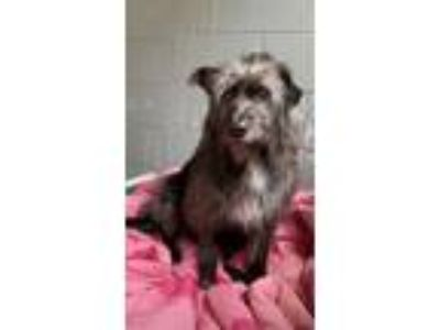 Adopt Roger a Gray/Silver/Salt & Pepper - with Black Wirehaired Fox Terrier /