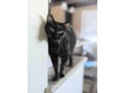 Adopt Josephine a All Black American Shorthair / Mixed cat in Santa Monica