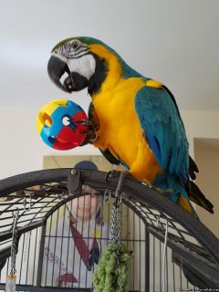 ~Outstanding Blue and Gold Macaw Parrots For re