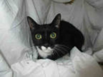 Adopt DEEDEE a Black & White or Tuxedo Domestic Shorthair / Mixed (short coat)