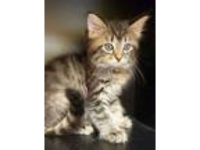 Adopt Coral is a WOW kitten! a Maine Coon