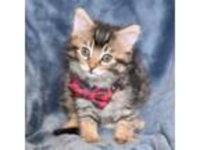 Adopt HERB a Domestic Medium Hair