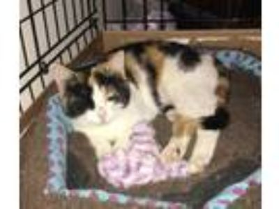 Adopt Kayla a White Domestic Shorthair / Domestic Shorthair / Mixed cat in Heber