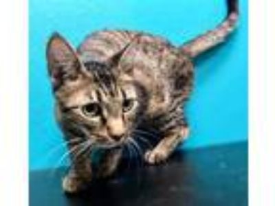 Adopt Gin Rummy a Orange or Red Domestic Shorthair / Domestic Shorthair / Mixed