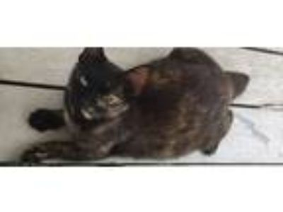 Adopt Amera (Rescue Only) a Domestic Shorthair / Mixed (short coat) cat in Rome
