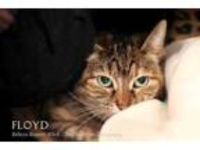 Adopt FLOYD a Brown or Chocolate Domestic Shorthair / Domestic Shorthair / Mixed