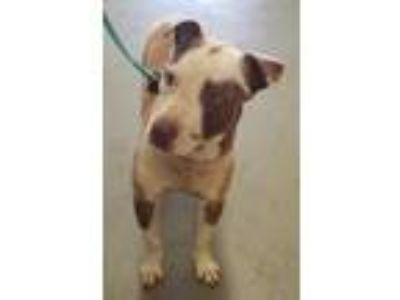Adopt Rachael Jackson a Red/Golden/Orange/Chestnut American Pit Bull Terrier /