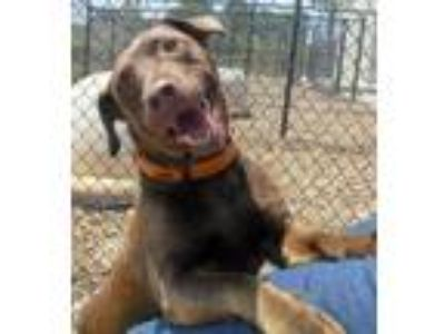Adopt Halo a Brown/Chocolate Labrador Retriever / Mixed dog in Oskaloosa