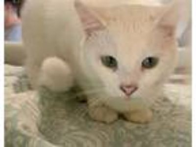 Adopt LITTLE MAN a Domestic Short Hair