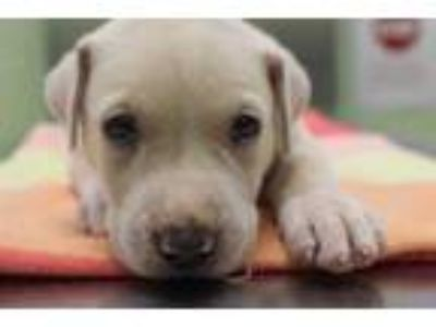 Adopt Boombox a Tan/Yellow/Fawn Retriever (Unknown Type) / Mixed dog in