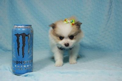 Teacup Pomeranian Puppies Available for Sale now !