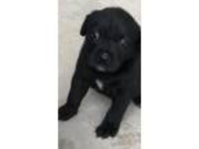 Adopt CHRISSY a Labrador Retriever
