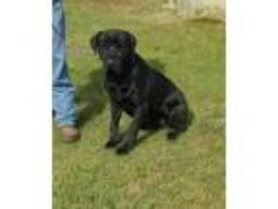 Adopt CHIEF a Black Mastiff / Mixed dog in Clinton, NC (25275876)