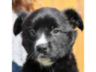 Adopt Chewy a Black - with White Border Collie / Australian Shepherd / Mixed dog