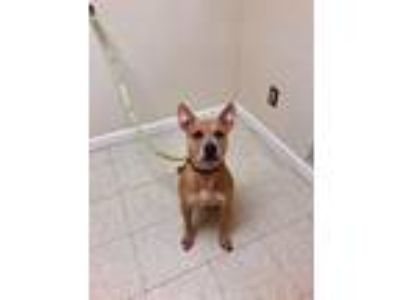 Adopt Scooby Doo a Pit Bull Terrier / Mixed dog in Fall River, MA (25359561)