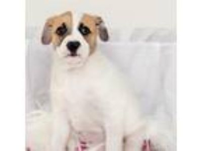 Adopt England Pup - Queen - Adopted! a White Shepherd (Unknown Type) / Rhodesian