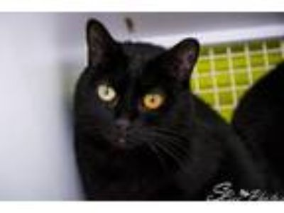 Adopt Scout a All Black Domestic Shorthair / Mixed (short coat) cat in St.