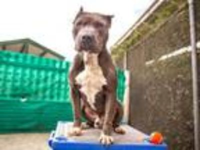 Adopt GATOR a Pit Bull Terrier