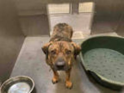 Adopt LINA a Brown/Chocolate - with Black German Shepherd Dog / Mixed dog in