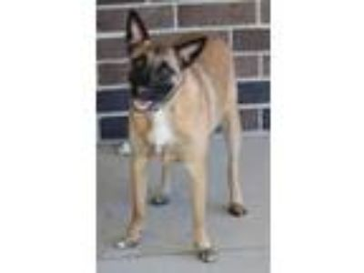 Adopt Bubba a Tan/Yellow/Fawn - with Black German Shepherd Dog / Australian