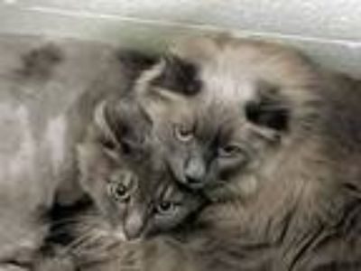 Adopt Holly & Smokey a Gray or Blue Domestic Mediumhair (medium coat) cat in