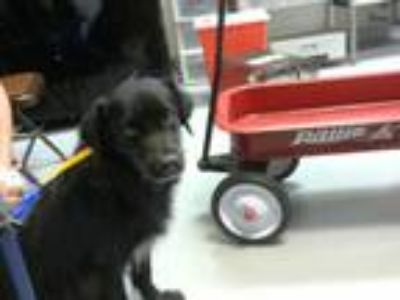 Adopt TUFF a Black Flat-Coated Retriever / Mixed dog in Fayetteville
